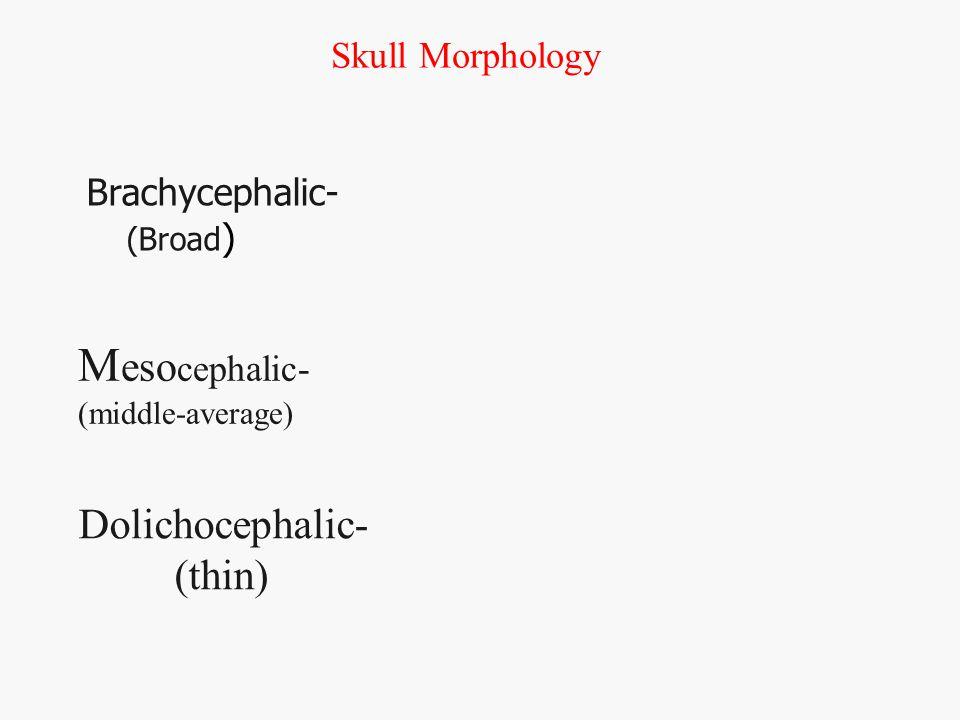 Brachycephalic- (Broad ) Dolichocephalic- (thin) Skull Morphology M eso cephalic- (middle-average)