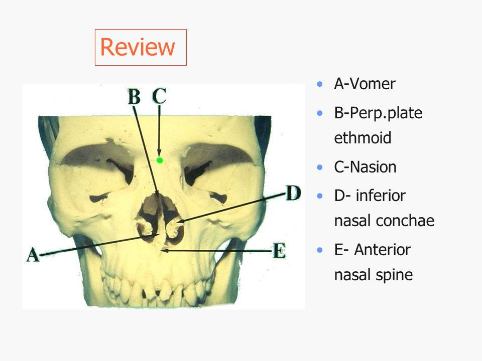 Review A-Vomer B-Perp.plate ethmoid C-Nasion D- inferior nasal conchae E- Anterior nasal spine