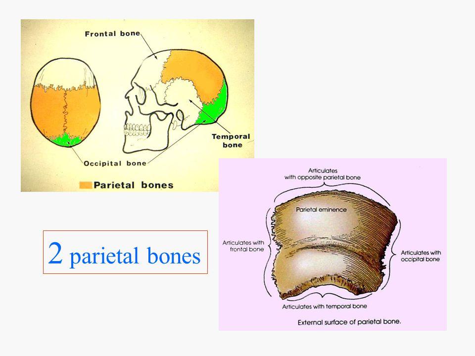 Occipital Floor of Cranium