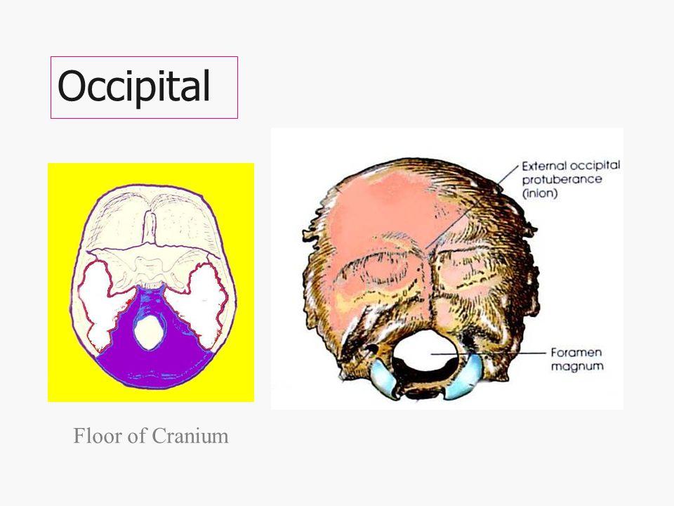 Floor of Cranium is made of 4 bones (The four on the floor!) Ethmoid Sphenoid Left & Right Temporal bones