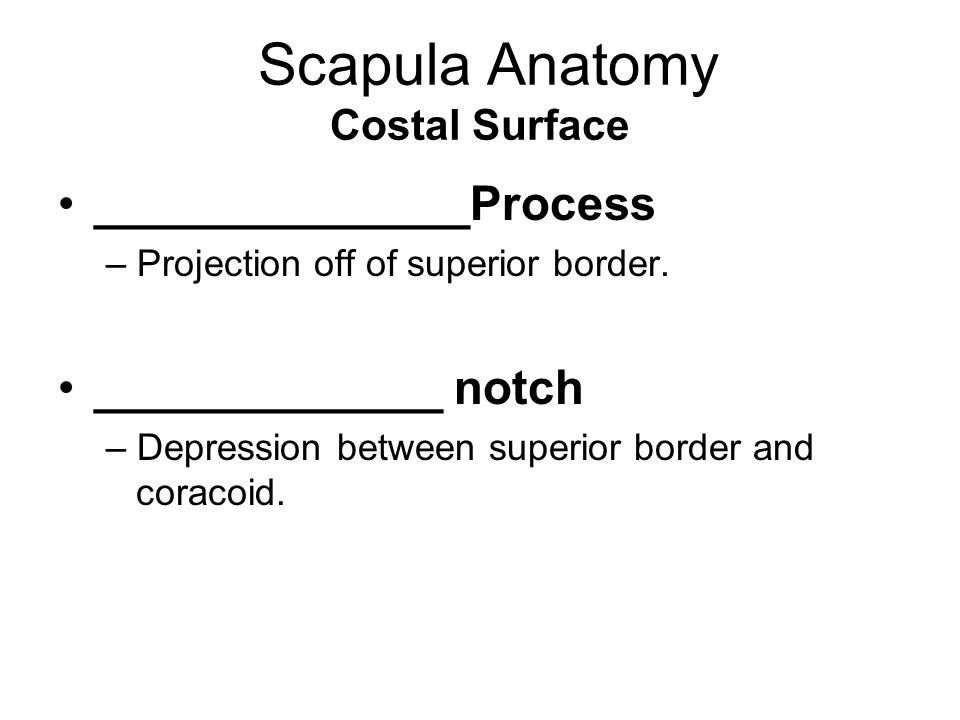 Scapula Anatomy Costal Surface ______________Process – Projection off of superior border. _____________ notch – Depression between superior border and