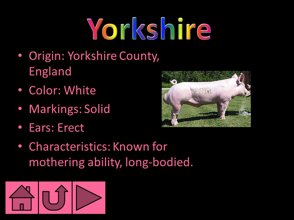 Origin: Yorkshire County, England Color: White Markings: Solid Ears: Erect Characteristics: Known for mothering ability, long-bodied.