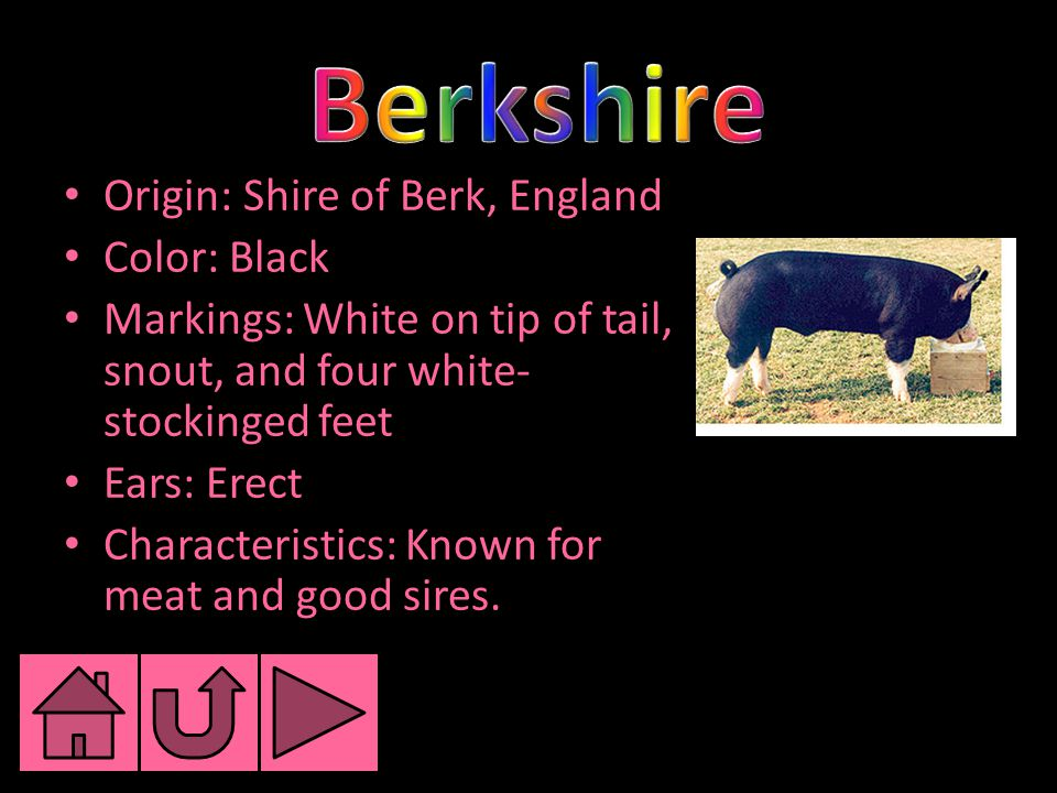 Origin: Shire of Berk, England Color: Black Markings: White on tip of tail, snout, and four white- stockinged feet Ears: Erect Characteristics: Known for meat and good sires.