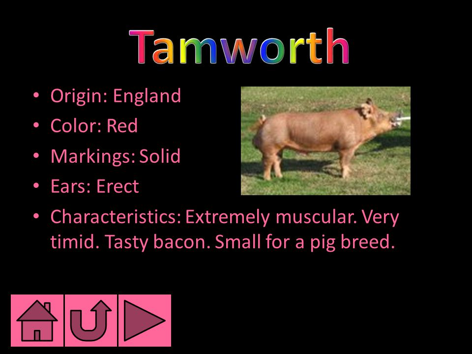Origin: England Color: Red Markings: Solid Ears: Erect Characteristics: Extremely muscular.
