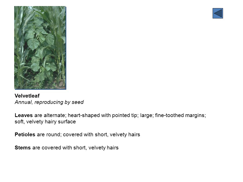 Velvetleaf Annual, reproducing by seed Leaves are alternate; heart-shaped with pointed tip; large; fine-toothed margins; soft, velvety hairy surface Petioles are round; covered with short, velvety hairs Stems are covered with short, velvety hairs