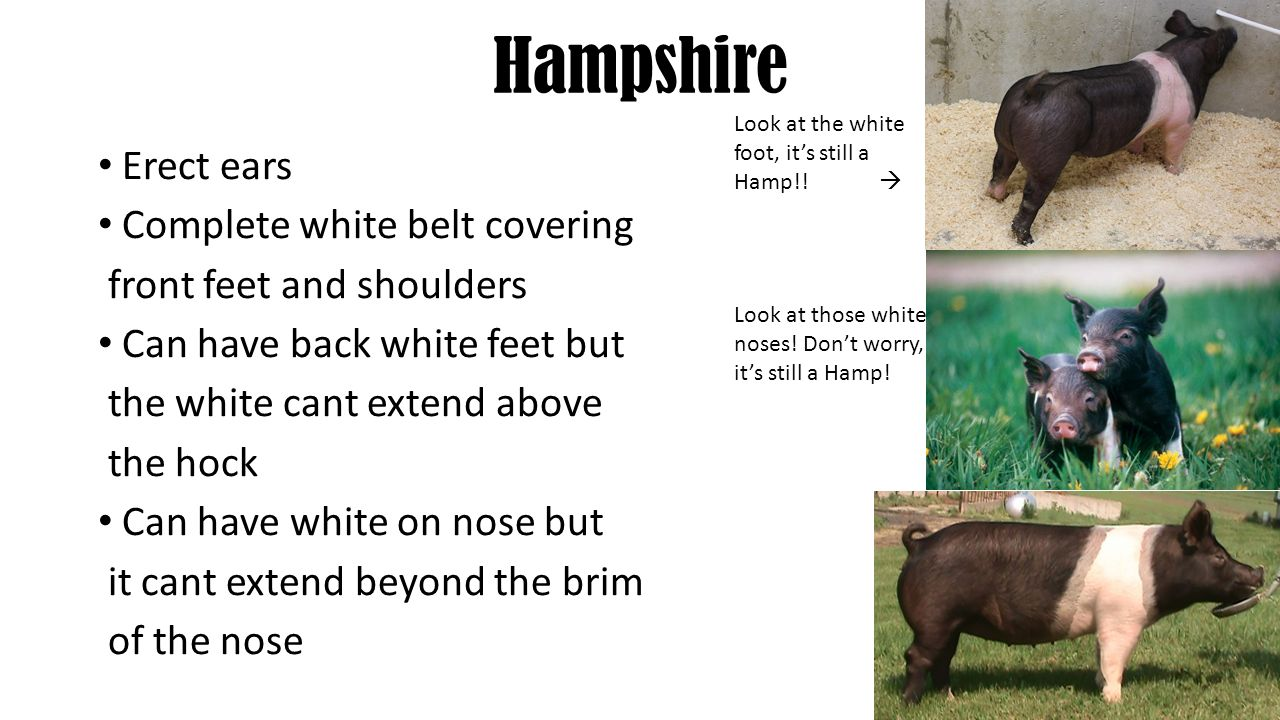Hampshire Erect ears Complete white belt covering front feet and shoulders Can have back white feet but the white cant extend above the hock Can have