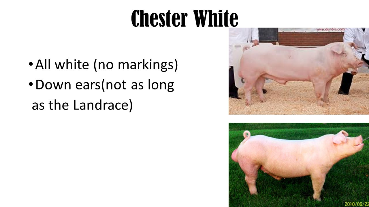 Chester White All white (no markings) Down ears(not as long as the Landrace)