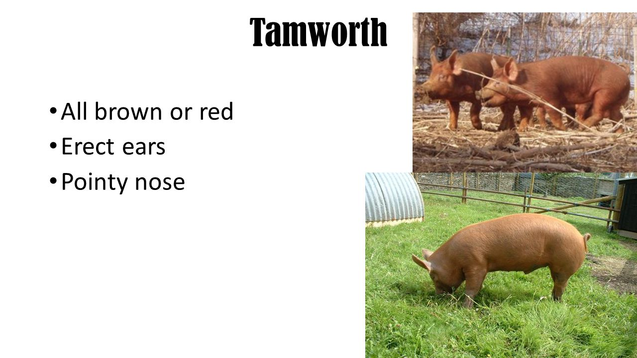 Tamworth All brown or red Erect ears Pointy nose