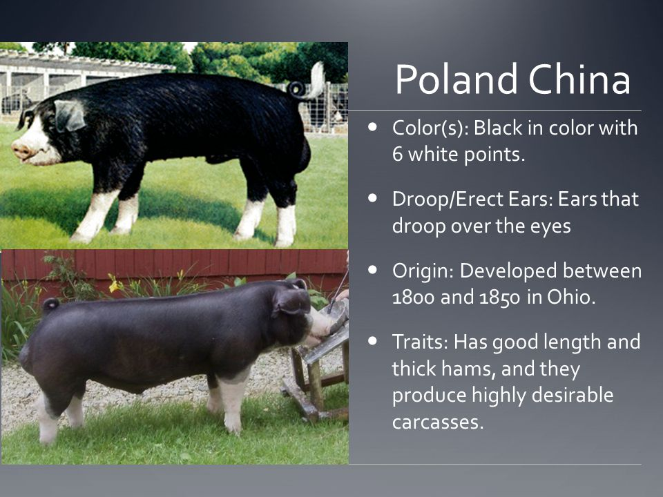 Poland China Color(s): Black in color with 6 white points.