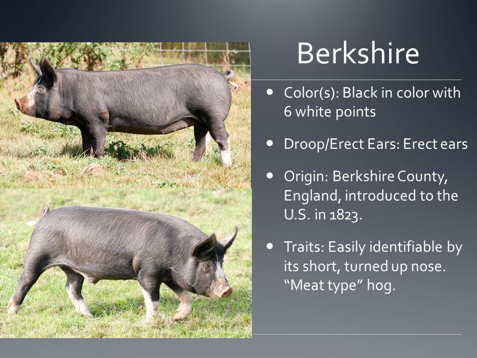 Berkshire Color(s): Black in color with 6 white points Droop/Erect Ears: Erect ears Origin: Berkshire County, England, introduced to the U.S.