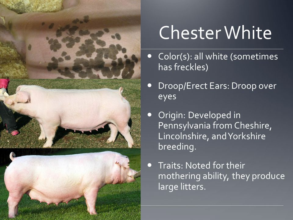Chester White Color(s): all white (sometimes has freckles) Droop/Erect Ears: Droop over eyes Origin: Developed in Pennsylvania from Cheshire, Lincolnshire, and Yorkshire breeding.