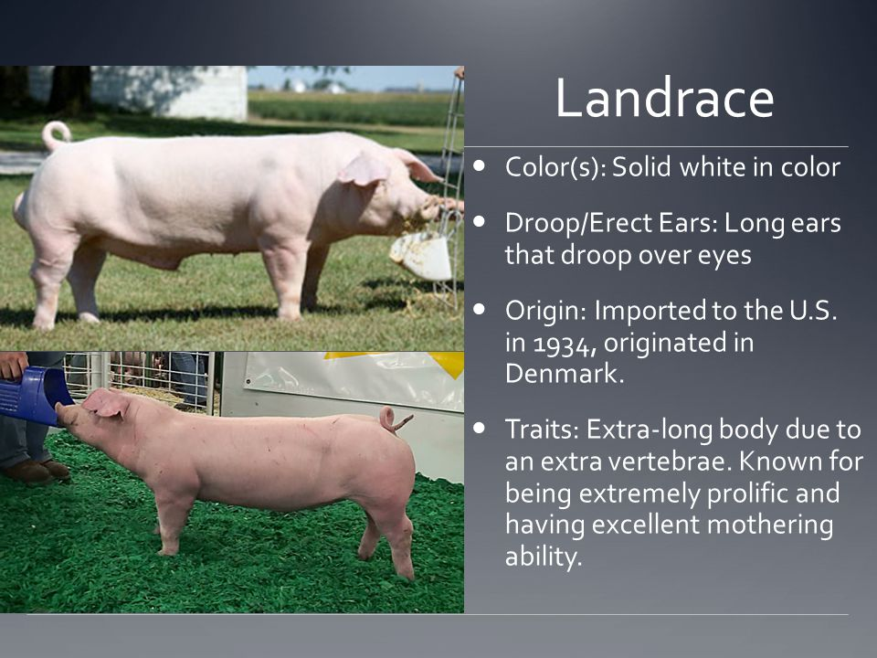 Landrace Color(s): Solid white in color Droop/Erect Ears: Long ears that droop over eyes Origin: Imported to the U.S.