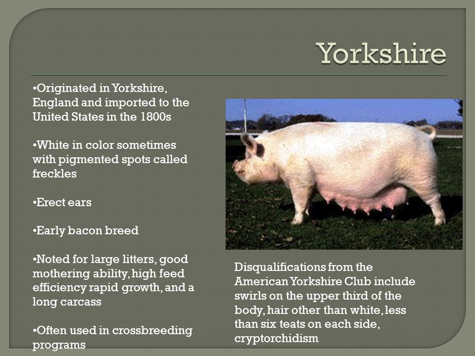 Originated in Yorkshire, England and imported to the United States in the 1800s White in color sometimes with pigmented spots called freckles Erect ears Early bacon breed Noted for large litters, good mothering ability, high feed efficiency rapid growth, and a long carcass Often used in crossbreeding programs Disqualifications from the American Yorkshire Club include swirls on the upper third of the body, hair other than white, less than six teats on each side, cryptorchidism