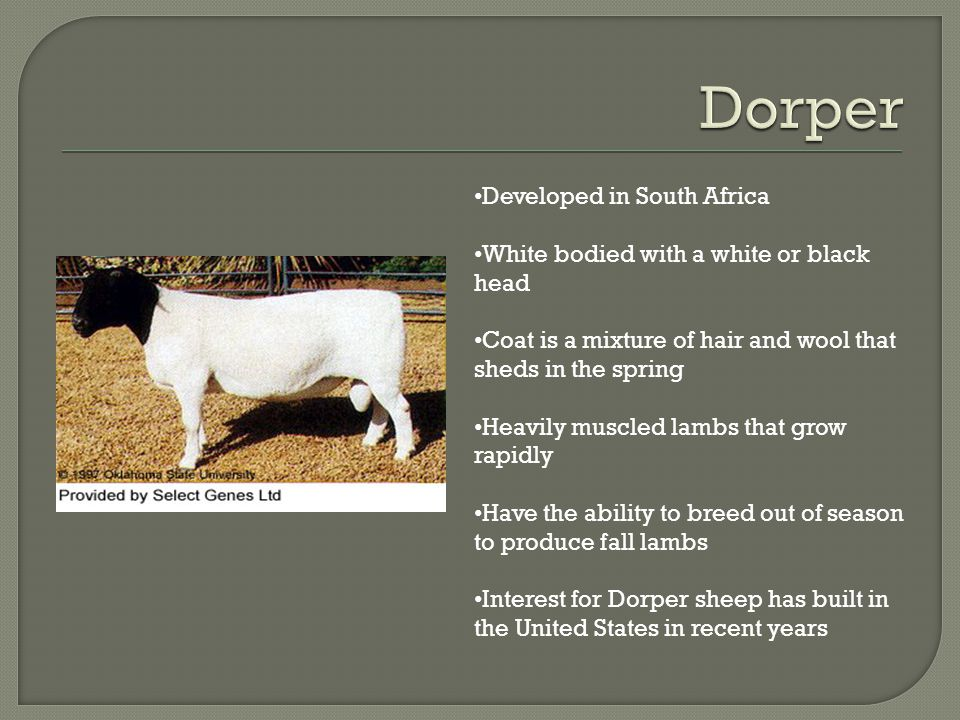 Developed in South Africa White bodied with a white or black head Coat is a mixture of hair and wool that sheds in the spring Heavily muscled lambs that grow rapidly Have the ability to breed out of season to produce fall lambs Interest for Dorper sheep has built in the United States in recent years