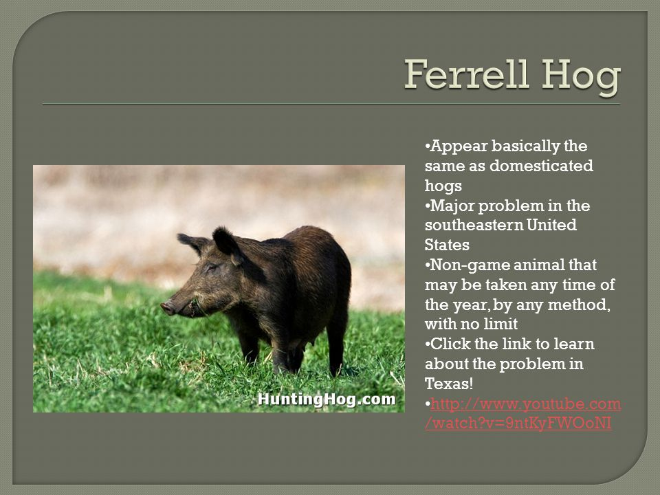 Appear basically the same as domesticated hogs Major problem in the southeastern United States Non-game animal that may be taken any time of the year, by any method, with no limit Click the link to learn about the problem in Texas.