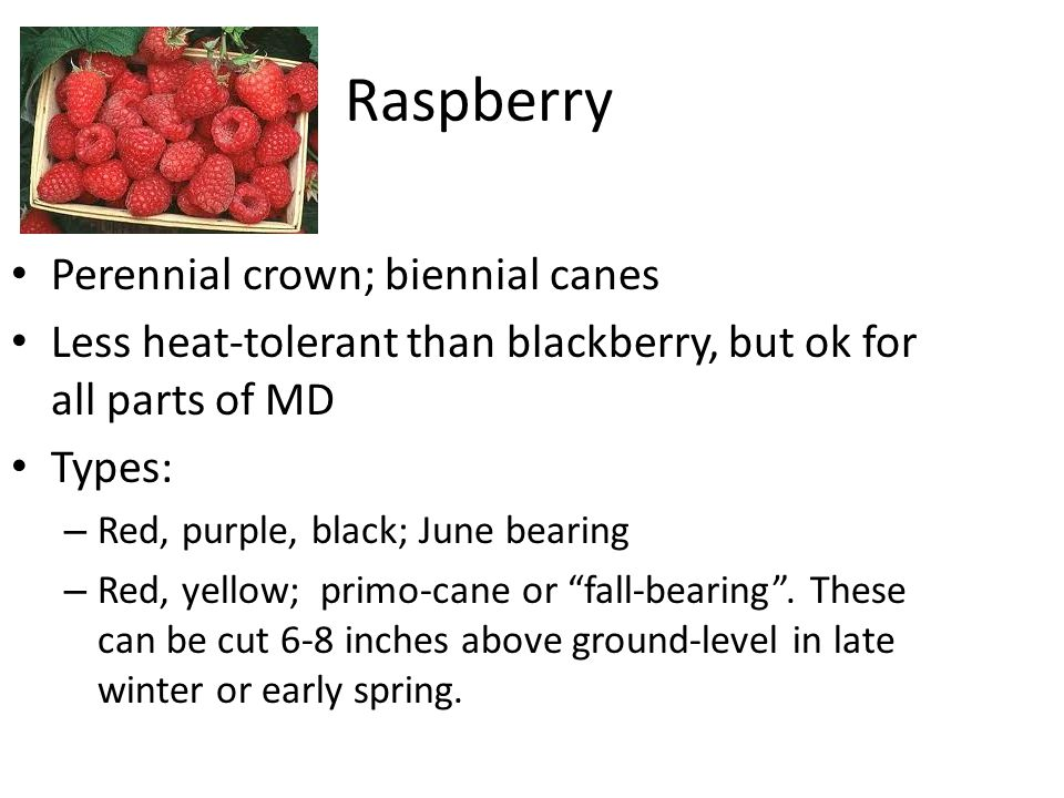 Raspberry Perennial crown; biennial canes Less heat-tolerant than blackberry, but ok for all parts of MD Types: – Red, purple, black; June bearing – Red, yellow; primo-cane or fall-bearing .
