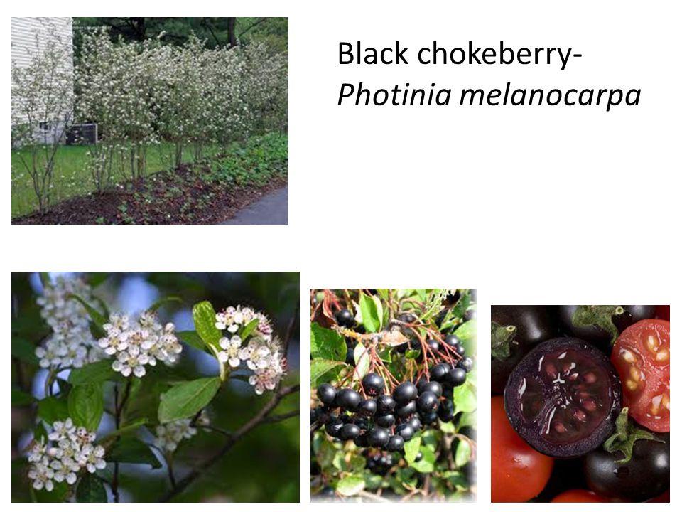 Black chokeberry- Photinia melanocarpa