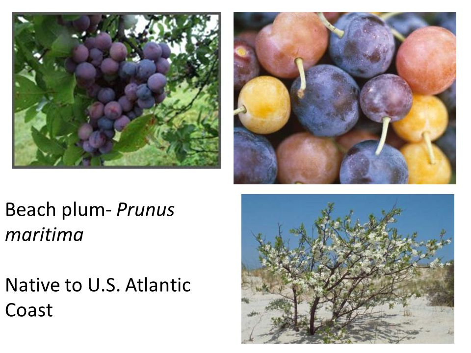 Beach plum- Prunus maritima Native to U.S. Atlantic Coast