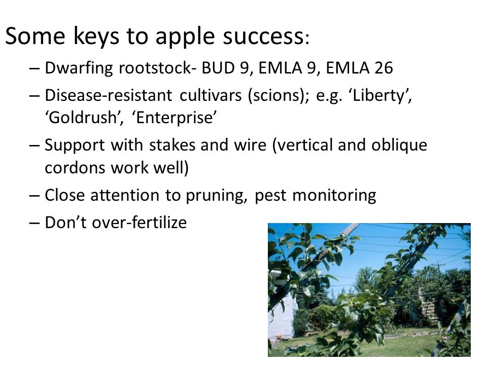 Some keys to apple success : – Dwarfing rootstock- BUD 9, EMLA 9, EMLA 26 – Disease-resistant cultivars (scions); e.g.