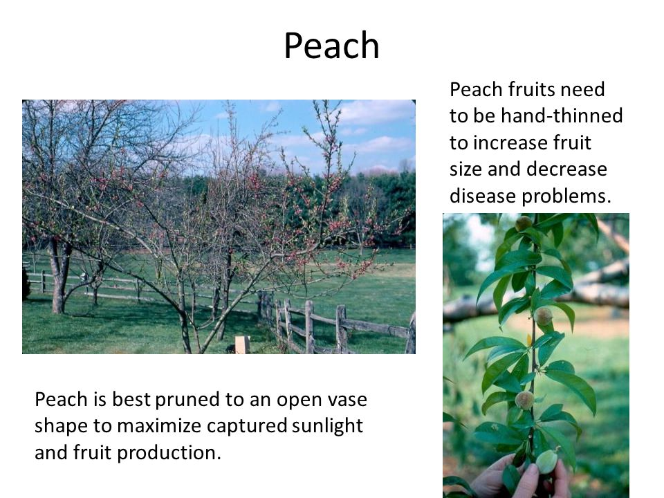 Peach Peach is best pruned to an open vase shape to maximize captured sunlight and fruit production.