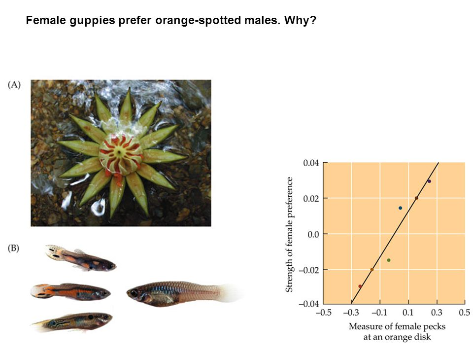 Female guppies prefer orange-spotted males. Why