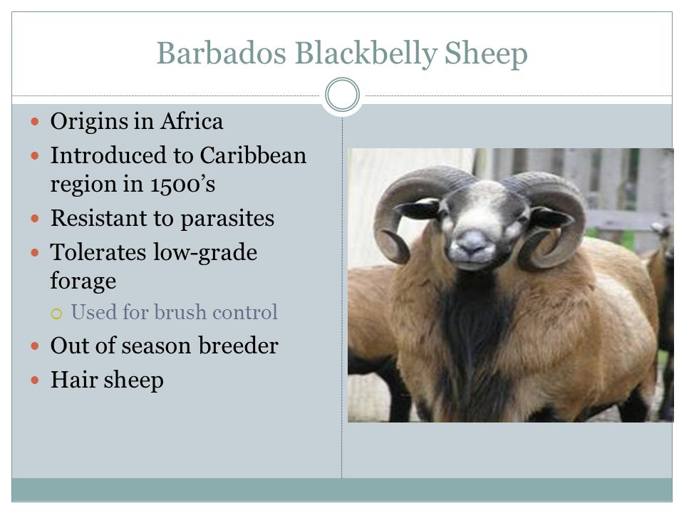 Barbados Blackbelly Sheep Origins in Africa Introduced to Caribbean region in 1500's Resistant to parasites Tolerates low-grade forage  Used for brus