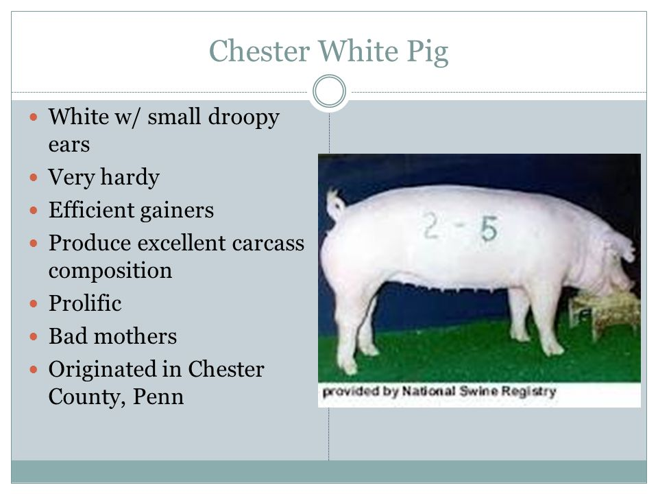 Chester White Pig White w/ small droopy ears Very hardy Efficient gainers Produce excellent carcass composition Prolific Bad mothers Originated in Che