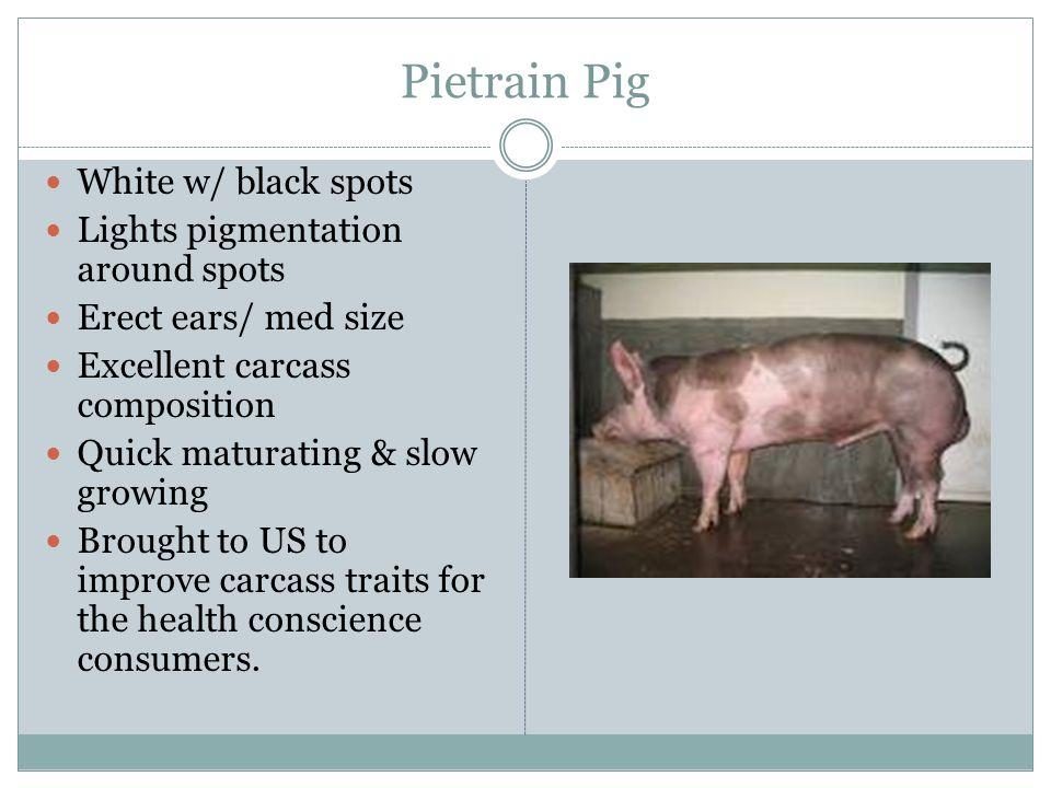 Pietrain Pig White w/ black spots Lights pigmentation around spots Erect ears/ med size Excellent carcass composition Quick maturating & slow growing