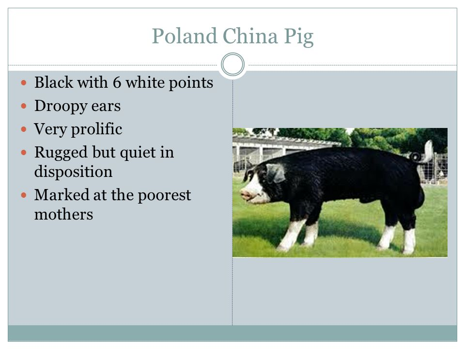 Poland China Pig Black with 6 white points Droopy ears Very prolific Rugged but quiet in disposition Marked at the poorest mothers