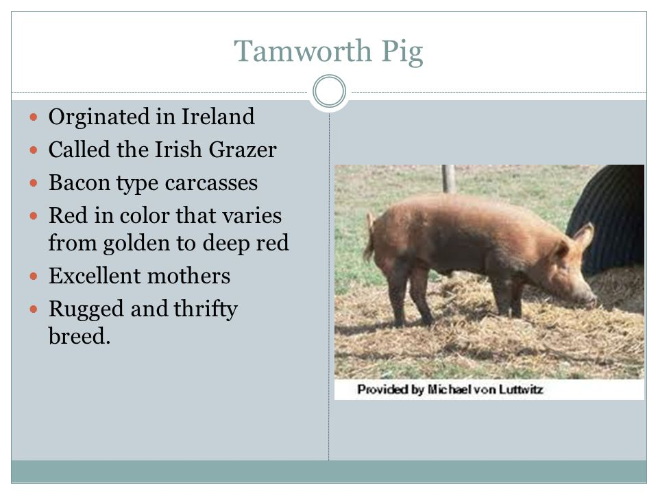 Tamworth Pig Orginated in Ireland Called the Irish Grazer Bacon type carcasses Red in color that varies from golden to deep red Excellent mothers Rugg