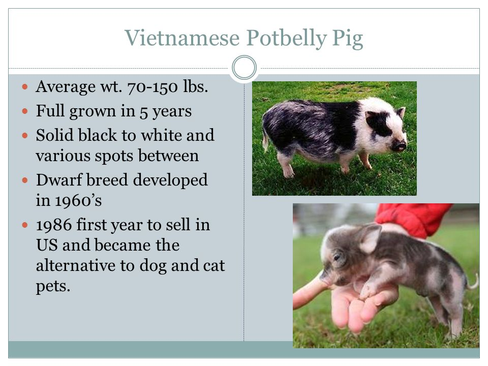 Vietnamese Potbelly Pig Average wt. 70-150 lbs. Full grown in 5 years Solid black to white and various spots between Dwarf breed developed in 1960's 1