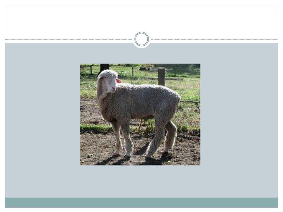 Oberhasli Goat Swiss dairy goat that is med.size, vigorous, & alert in appearance.