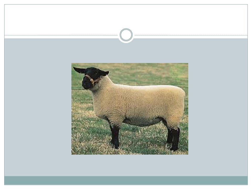 Hampshire Sheep Origin in England Southdown X Cotswold X Wiltshire & Berkshire Knot Ectensively used for crossbred lamb production Renowned for rapid growth rate & excellent meat-type Ewes good milkers with good maternal instincts Have wool-cap on forehead and wool on legs Medium wool breed