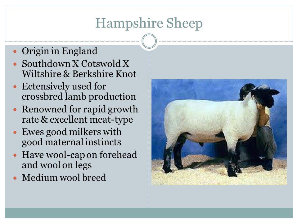 Katahdin Sheep Originated in Maine St.