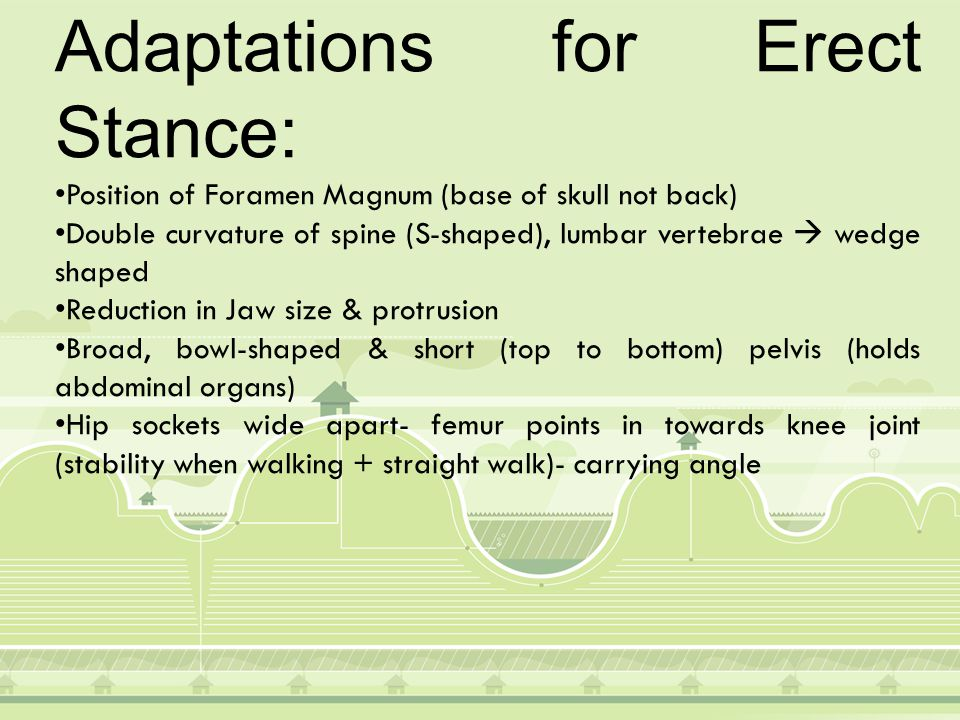 Adaptations for Erect Stance: (cont.) Hip joint directly below trunk (straight even weight distribution) Due to carrying angle, knee joint has a stronger 'hinge' on the outer part to support weight Non-prehensile feet/non opposable big toe Transverse (only humans) + Longitudinal (front to back) arch in foot (good for striding gait) Longer legs than arms: lower centre of gravity