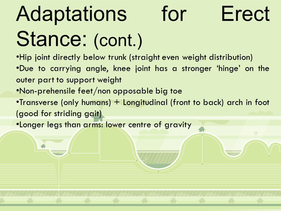 Stance & locomotion Support against gravity: Muscle tone (partial contraction of skeletal muscles) Sense/Stretch receptors Postural reflexes maintain balance Striding gait: Walking where hip & knee are fully extended (other apes have bent knees and hips) Foot/ground contact from heel to big toe across transverse arch.