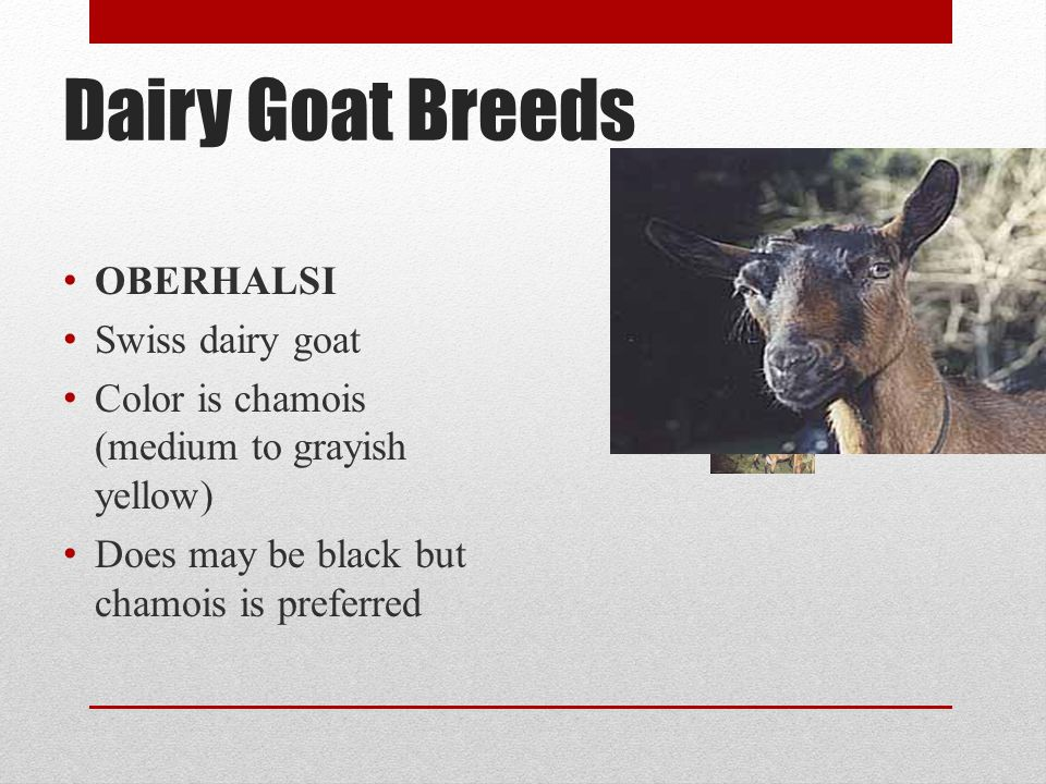 Dairy Goat Breeds OBERHALSI Swiss dairy goat Color is chamois (medium to grayish yellow) Does may be black but chamois is preferred