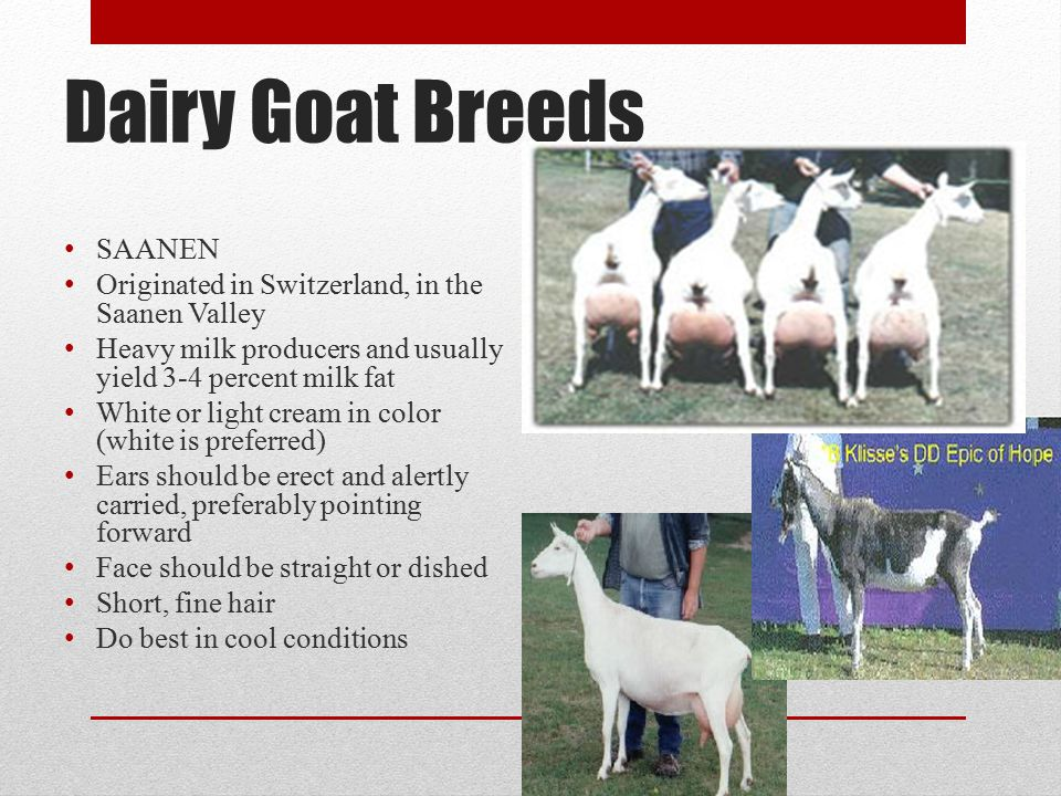 Dairy Goat Breeds SAANEN Originated in Switzerland, in the Saanen Valley Heavy milk producers and usually yield 3-4 percent milk fat White or light cream in color (white is preferred) Ears should be erect and alertly carried, preferably pointing forward Face should be straight or dished Short, fine hair Do best in cool conditions
