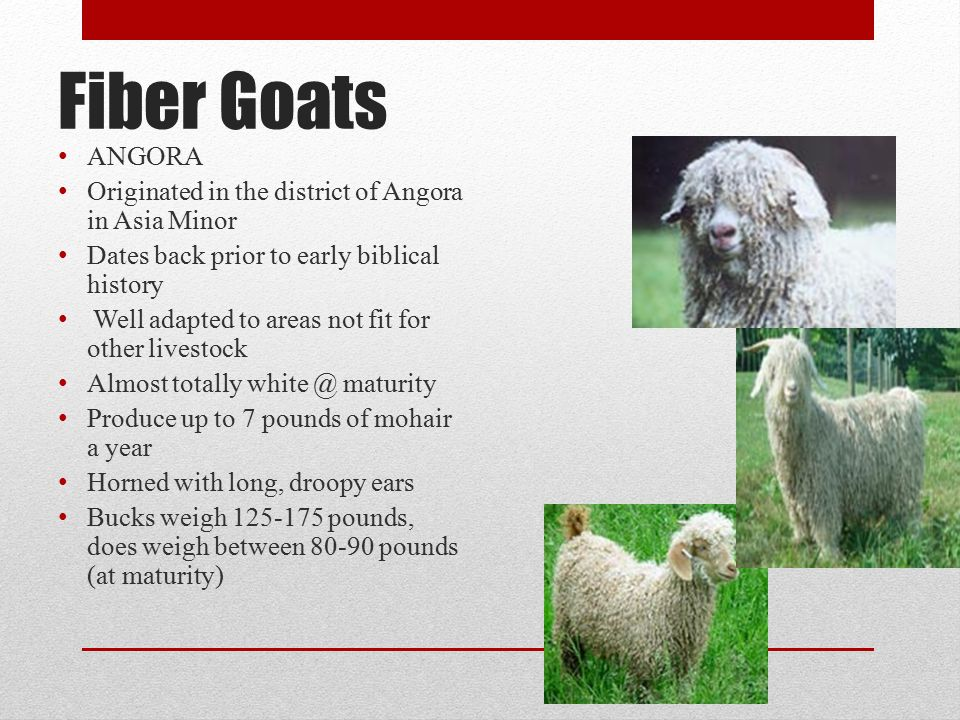 Fiber Goats ANGORA Originated in the district of Angora in Asia Minor Dates back prior to early biblical history Well adapted to areas not fit for other livestock Almost totally white @ maturity Produce up to 7 pounds of mohair a year Horned with long, droopy ears Bucks weigh 125-175 pounds, does weigh between 80-90 pounds (at maturity)