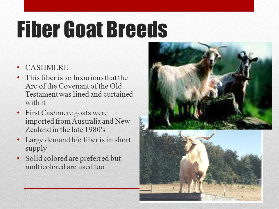 Fiber Goat Breeds CASHMERE This fiber is so luxurious that the Arc of the Covenant of the Old Testament was lined and curtained with it First Cashmere goats were imported from Australia and New Zealand in the late 1980 s Large demand b/c fiber is in short supply Solid colored are preferred but multicolored are used too