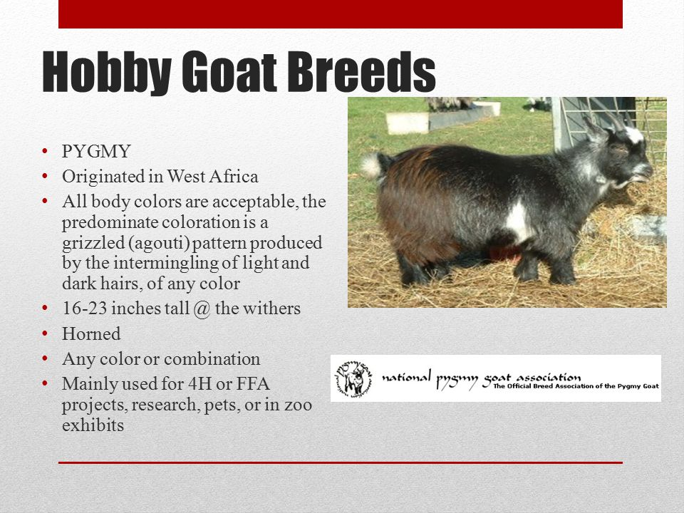 Hobby Goat Breeds PYGMY Originated in West Africa All body colors are acceptable, the predominate coloration is a grizzled (agouti) pattern produced by the intermingling of light and dark hairs, of any color 16-23 inches tall @ the withers Horned Any color or combination Mainly used for 4H or FFA projects, research, pets, or in zoo exhibits