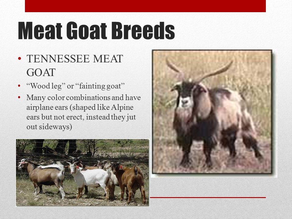 Meat Goat Breeds TENNESSEE MEAT GOAT Wood leg or fainting goat Many color combinations and have airplane ears (shaped like Alpine ears but not erect, instead they jut out sideways)