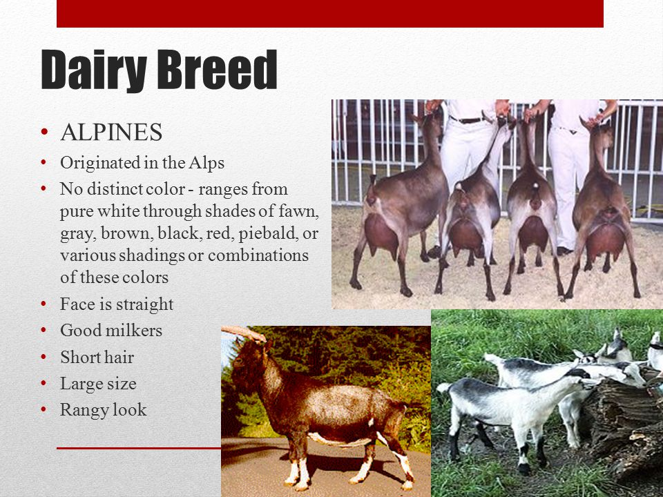 Dairy Breed ALPINES Originated in the Alps No distinct color - ranges from pure white through shades of fawn, gray, brown, black, red, piebald, or various shadings or combinations of these colors Face is straight Good milkers Short hair Large size Rangy look