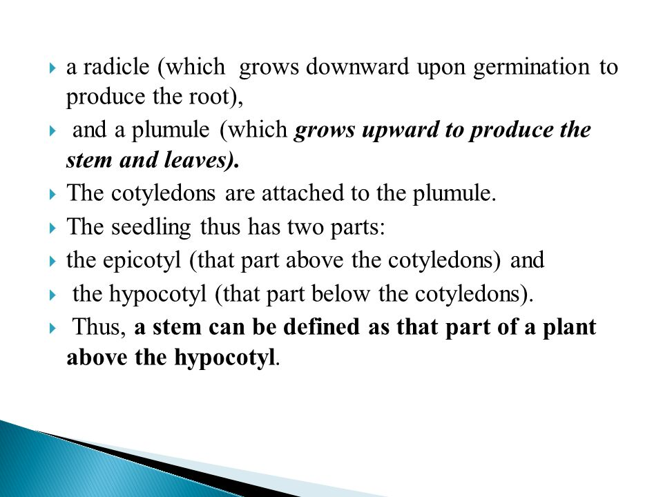  a radicle (which grows downward upon germination to produce the root),  and a plumule (which grows upward to produce the stem and leaves).