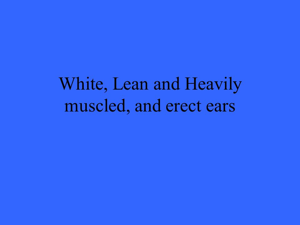 White, Lean and Heavily muscled, and erect ears