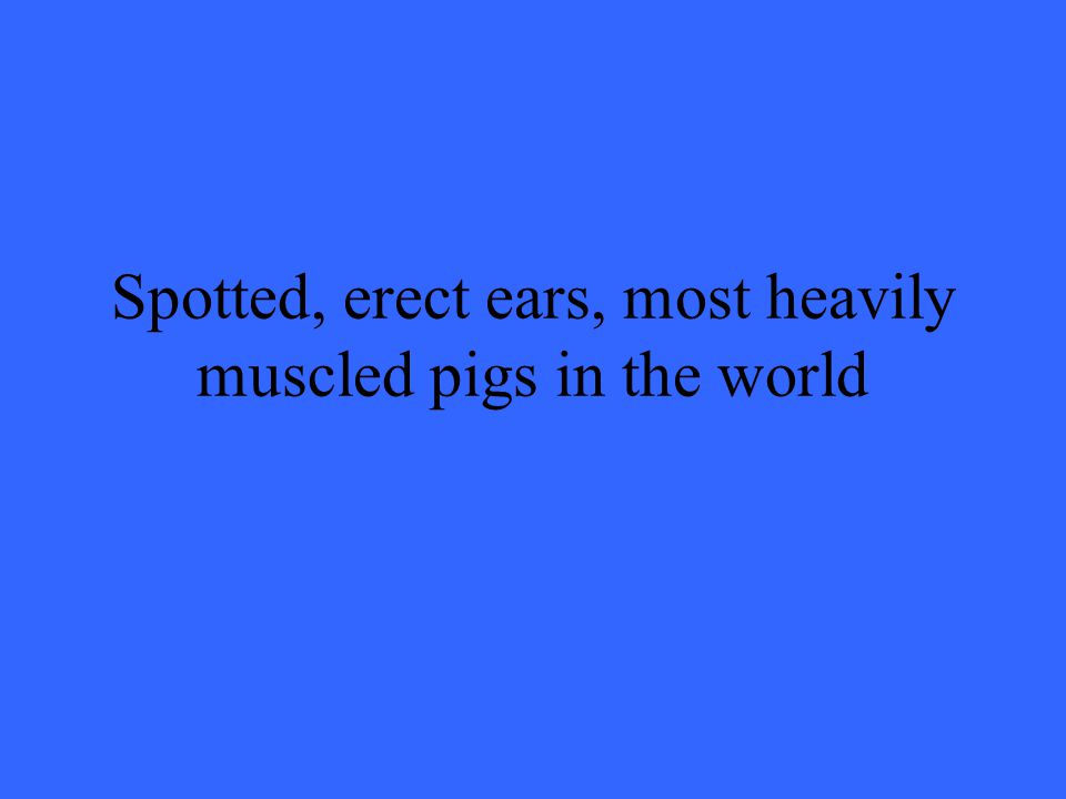 Spotted, erect ears, most heavily muscled pigs in the world