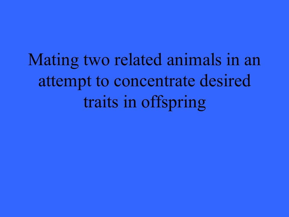 Mating two related animals in an attempt to concentrate desired traits in offspring