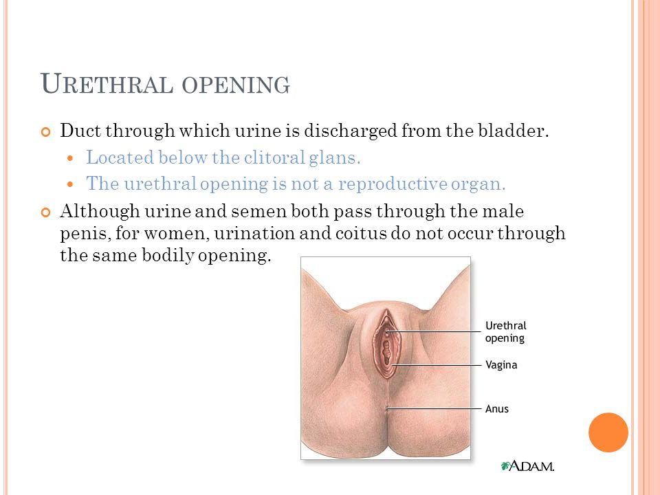 U RETHRAL OPENING Duct through which urine is discharged from the bladder.