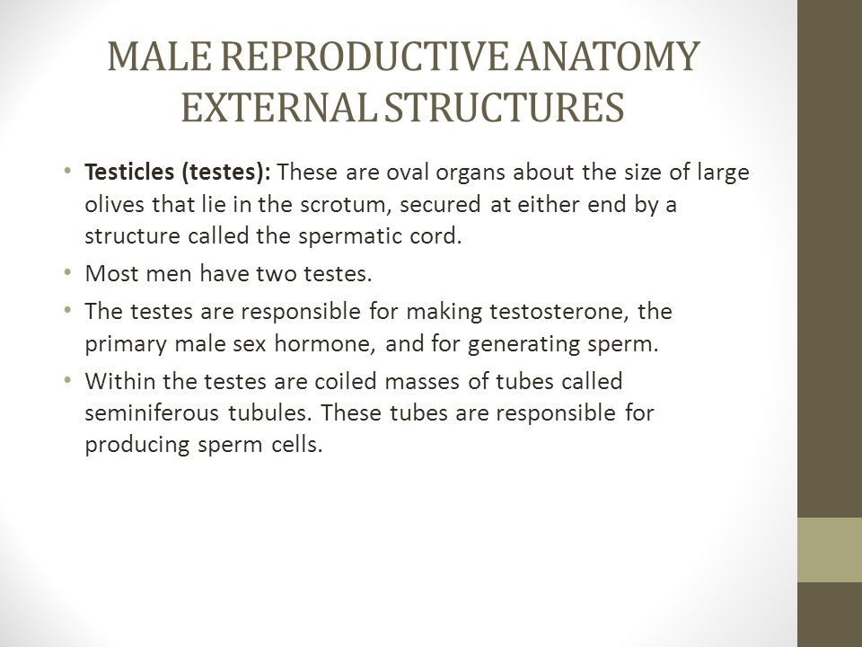 MALE REPRODUCTIVE ANATOMY EXTERNAL STRUCTURES Testicles (testes): These are oval organs about the size of large olives that lie in the scrotum, secured at either end by a structure called the spermatic cord.