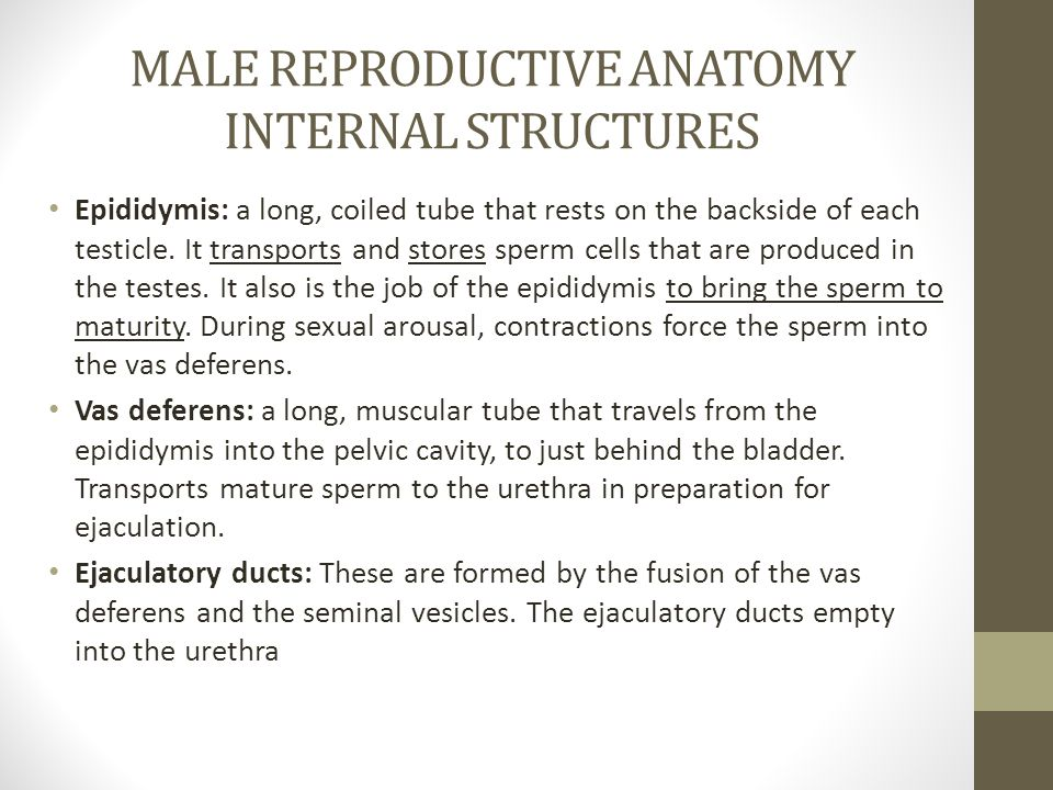 MALE REPRODUCTIVE ANATOMY INTERNAL STRUCTURES Epididymis: a long, coiled tube that rests on the backside of each testicle.